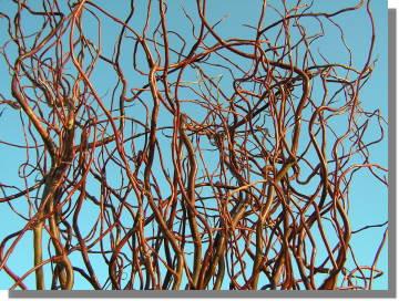 Salix erythroflexuosa